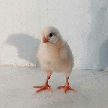 продажа цыплят в бишкеке в Кыргызстан: Бройлер! Продаются цыплята бройлера. Порода Арбор Айкерс 1-3 суточные