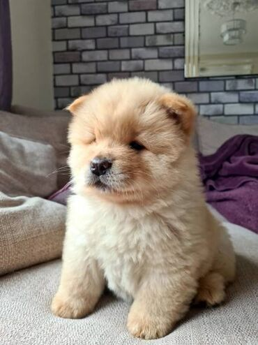 Chow chow puppy for adoptionThey come from a great bloodlineand will