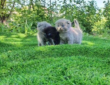 Коты - Кыргызстан: Шотландские веслоухие котята 01.04.20) скотиш фолд 3 девочки голубого
