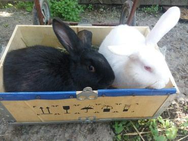 Декоративные кролики - Кыргызстан: Продаю домашних кроликов на откорм и племя. Породы-НЗБ,НЕМЕЦКИЙ БАРАН