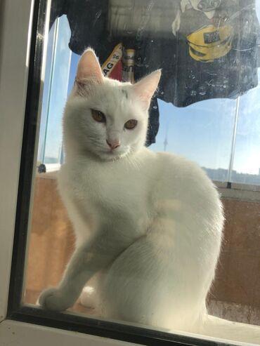 вислоухий шотландец котенок в Азербайджан: Котенок в добрые руки ангорка 6месяцев