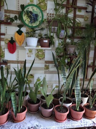 Комнатные растения - Беловодское: Продаю Сансевиерию цена 250 сом ( три вида)