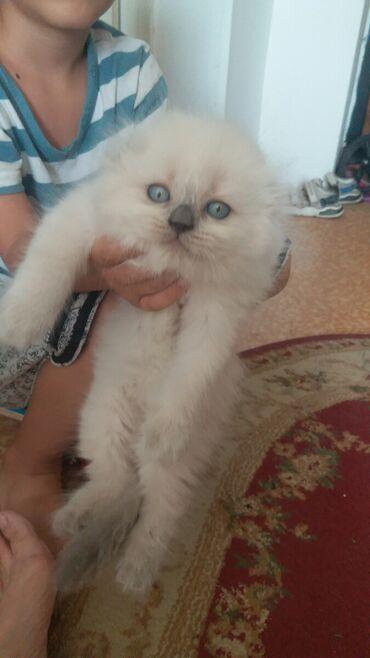 Животные - Пос. Дачный: Продаю шотландского котенка окрас поин колор голубоглазый 7 августа бу