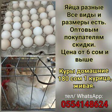 продам тойота марк 2 бишкек в Кыргызстан: Яйца разные.  Все виды и размеры есть.   Оптовым покупателям скидки