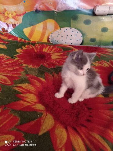 даром животные в Кыргызстан: Отдаем даром милейшего котенка в заботливые и добрые руки. Мальчик. 2