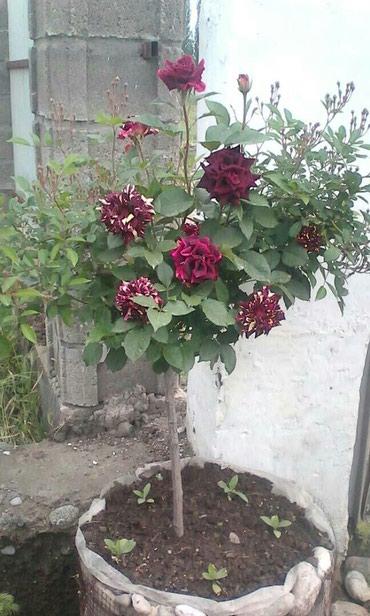 Комнатные растения - Кызыл-Кия: Штамповые розы