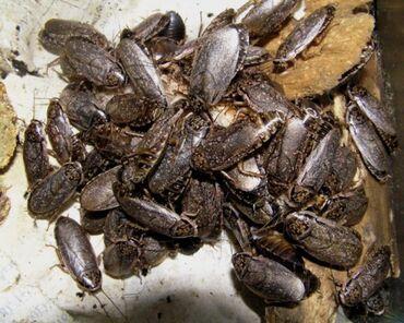 Мраморный таракан  КО для животных  Рептилии, ящерицы, пауки, птицы