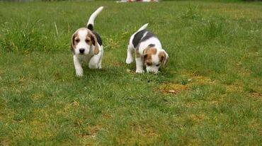 Beagle για υιοθεσία μικροτσίπ, ελεγμένο κτηνίατρο, όλα εμβολιασμένα