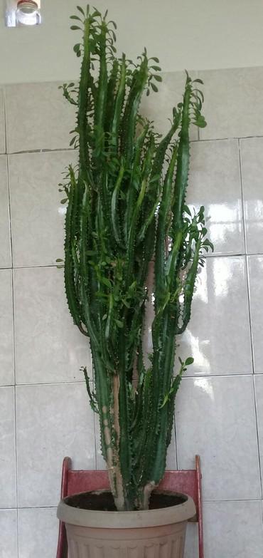 Продаю кактус 1 метр 20 см,для дома или для офиса очень красиво в Бишкек