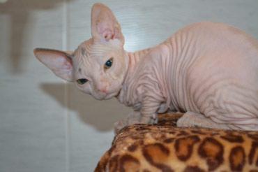 кошка сфинкс с шерстью в Кыргызстан: Продаются породистые котята донского сфинкса