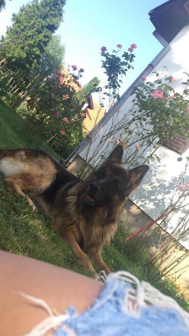 Nemacki ovcar - Srbija: Nemacko ovcar slobodan za parenje Slednja dlaka,ravni kukovi