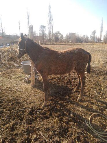 Животные - Кыргызстан: 8 айлык ургачы тай сатылат кулук атасы кличка чымын баасы 60 мин