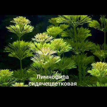 Животные - Хырдалан: Akvarium bitkiləri