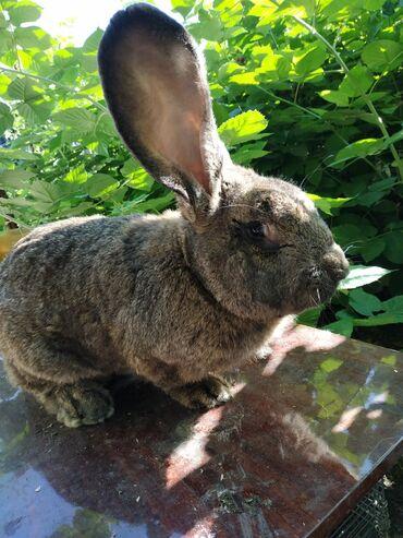 продам-крольчат в Кыргызстан: Крольчата 1,5 месяца породы великан, и нзб
