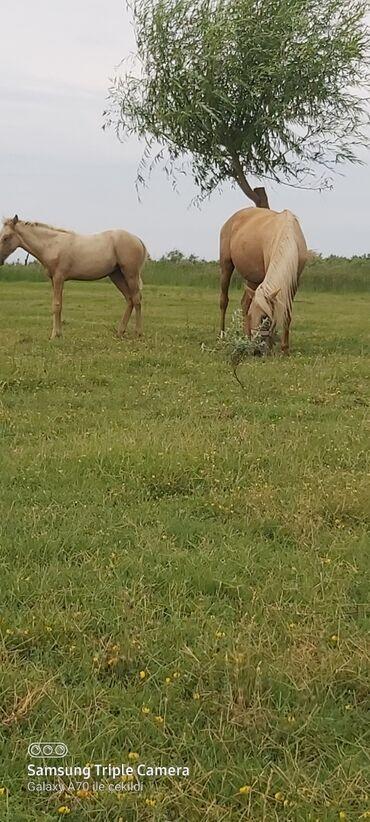 buick century 22 at - Azərbaycan: Salam. Atlar satılır. Sarı səməd Maydan 6 yaş.Qulan 1 yaş 4