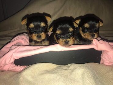 Yorkshire Terrier puppies for sale Yorkshire Terrier puppies available