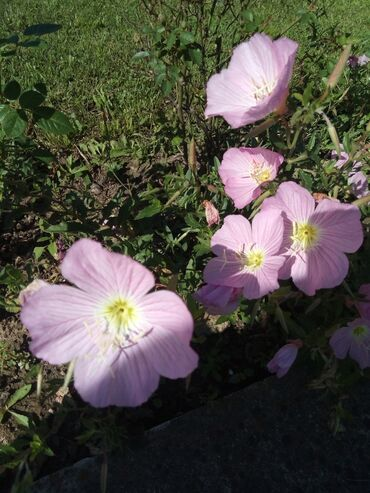 Kuća i bašta - Loznica: Jako lepo mirisno cvece koje cveta od proleca do kasno u jesen.lako