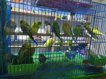 Попугаи разные, большой выбор! в Сокулук