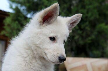 Продаю щенков Белой швейцарской овчарки. 1 девочка, 2 мальчика. Дата