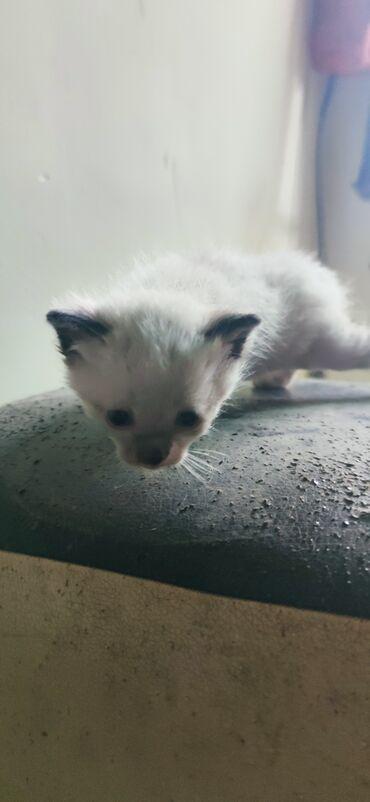 Другие животные - Кыргызстан: Отдам котят, в хорошии руки. Котята еще маленькие. Нужно будет ухажива