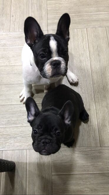 10330 elan | HEYVANLAR: Продаются щенки Французского бульдога. Чистокровные!!! Шоу класса!!! С