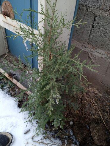 Продаем елки от 200 сомов маленькие  500 большие  По вопросу звонить п