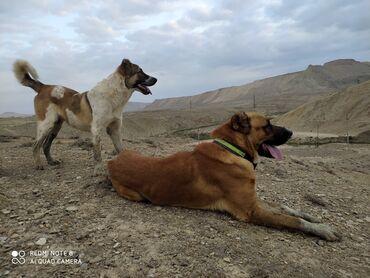 Животные - Остров Хазар: Собаки