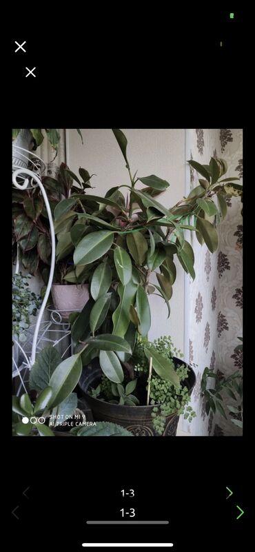 Домашнее растение! Отдам с хорошей скидкой  Вместе с горшком