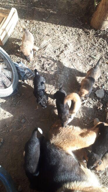 Животные - Милянфан: Шинки кому 1 штук по 1000 сом срочна продою по ватсапу
