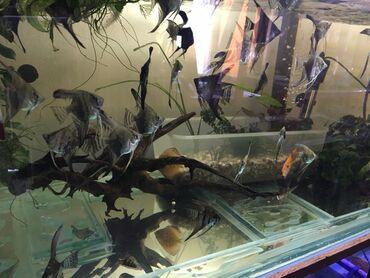 рыбы в Кыргызстан: Высокоплавничные Скалярии дымчатые(smoky) подростки-200сом  Есть оптов