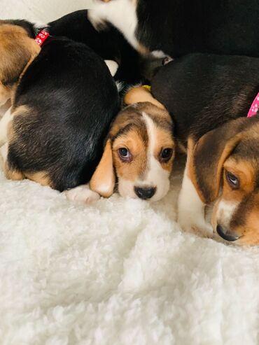 Pets & Animals - Czech Republic: Na prodej úžasné štěně Beagle, dívka. Vyšetřili sho dva veterinární i