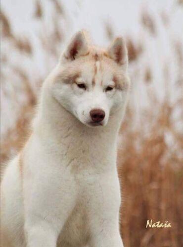2098 oglasa   KUĆNI LJUBIMCI: Na prodaju ženski štenci sibirskog haskija, izložbenog potencijala