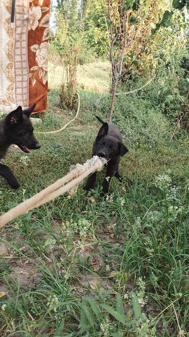 10926 объявлений: Продаём щенков Скрещивание немецкой овчарки и европейской овчарки