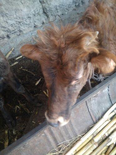 в Узген: Принимаю галава на бик