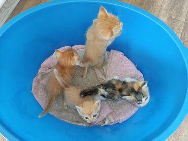 2694 объявлений: Отдам котят в хорошие руки, 3 рыжих мальчика и одна трёхцветная девочк