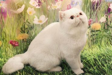 Pişiklər - Azərbaycan: Приглашаю на вязку к чистокровному экзотическому коту с титулом