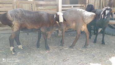 Животные - Баткен: Бараны, овцы