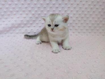 Kharkiv şəhərində Продам котенка серебреной шиншиллы