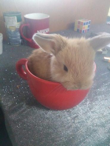 СРОЧНО ПРОДАЮ крольчат вислоухие цена в Лебединовка