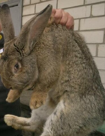 шуба кроликовая в Кыргызстан: Продаю кроликов, или обмен на курицы. Большие-почти 2 года, маленькие