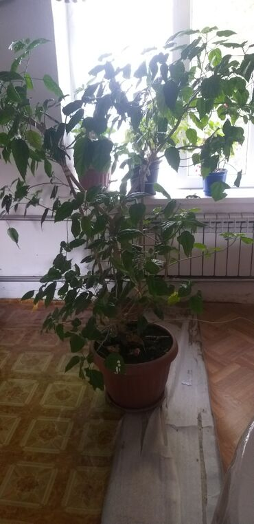 гепарин цена бишкек в Кыргызстан: По разным ценам китайская роза рост 180 и остальные
