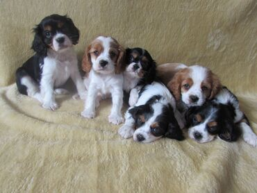 Cavalier King Charles Spaniel for sale puppies for sale  WhatsApp me +