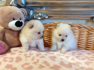 Pomeranian puppies for adoptionWhatsApp me +33 Pomeranian puppies for