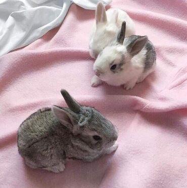Декаративные кролики. Прививки сделаны. Порода Миноры Ручные