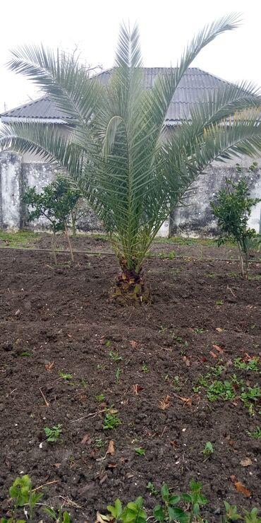 Palma ağacı xurmadır ən ucuz bizdədi balaca olanda 75 manata alınıb 10