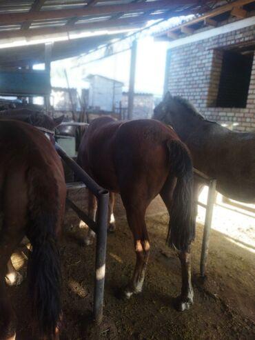 Продаю | Кобыла (самка), Конь (самец) | На забой