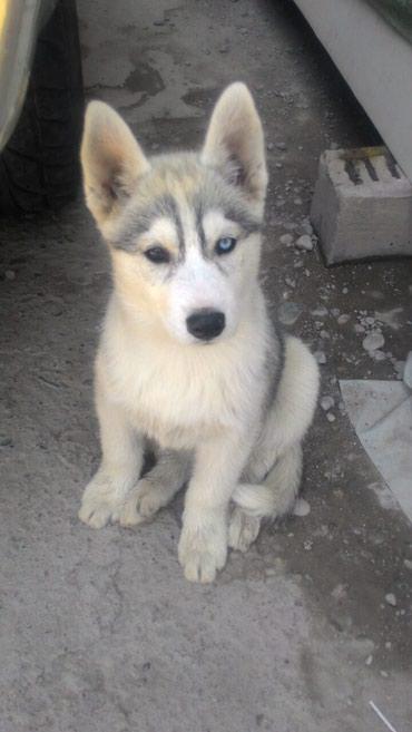 Куплю 7-й айфон, или обменяю на щенка в Бишкек