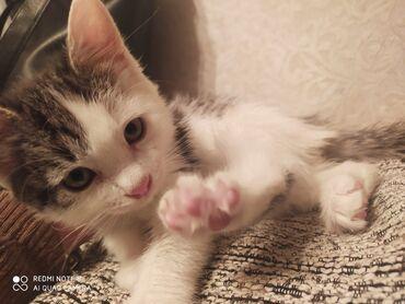holodilnikov na dom в Кыргызстан: Отдам котенка(девочка) в хорошие и добрые руки! Приучена к туалету, не
