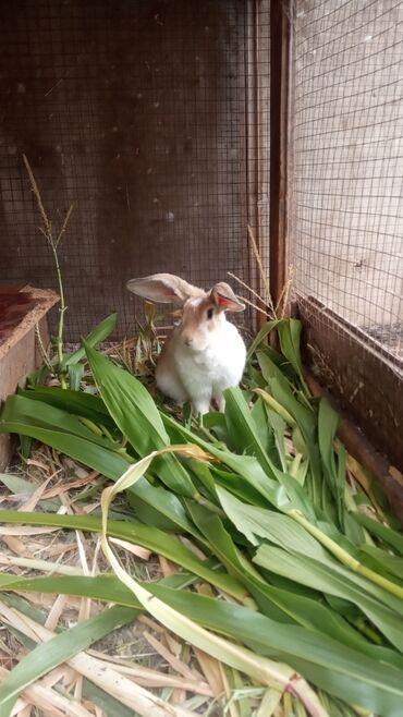 42 объявлений | ЖИВОТНЫЕ: Продаю | Крольчиха (самка), Кролик самец, Крольчата | Серый великан, Фландр | Для разведения | Племенные