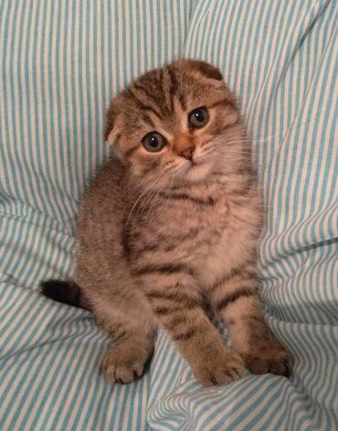 Шотландский котик Скотиш Фолд. Возраст 3 месяца. На все вопросы